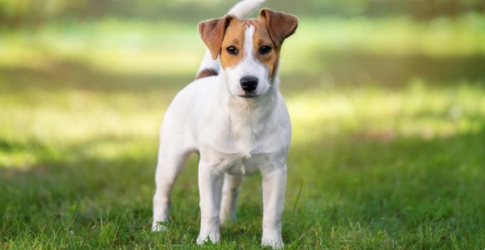 Best Dog Beds For Parson Russell Terriers