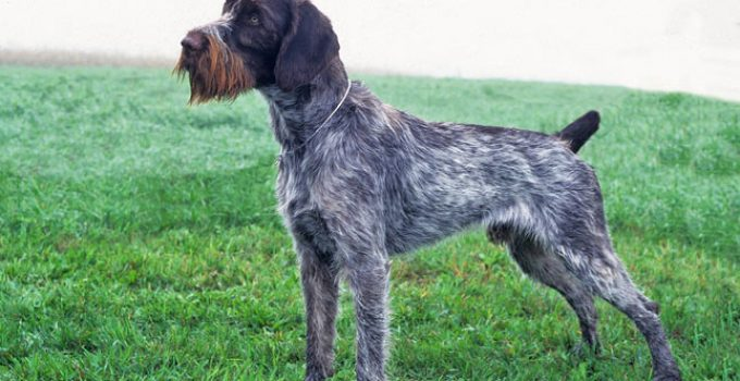 Best Dog Beds For German Wirehaired Pointers