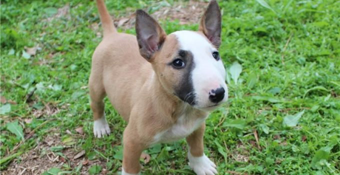 Best Dog Beds For Miniature Bull Terriers