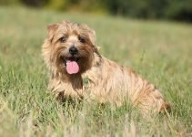 Best Dog Beds For Norfolk Terriers