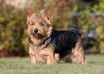 5 Best Dog Beds for Norwich Terriers (Reviews Updated 2021)