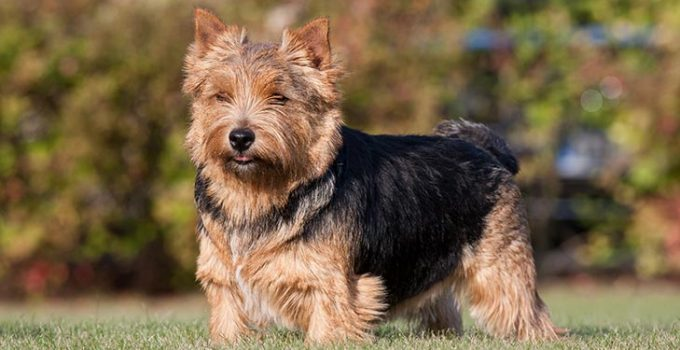 Best Dog Beds For Norwich Terriers