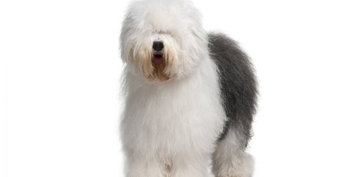 Best Dog Beds For Old English Sheepdogs