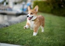 Best Dog Beds For Pembroke Welsh Corgis