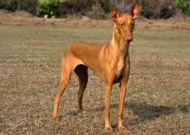 Best Dog Beds For Pharaoh Hounds