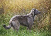 5 Best Dog Beds for Scottish Deerhounds (Reviews Updated 2021)