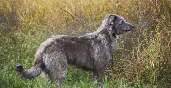 Best Dog Beds For Scottish Deerhounds
