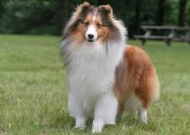 5 Best Dog Beds for Shetland Sheepdogs (Reviews Updated 2021)