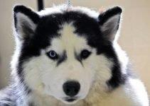 Best Dog Beds For Siberian Huskies