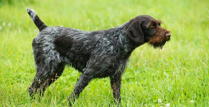 Best Dog Brushes For German Wirehaired Pointers
