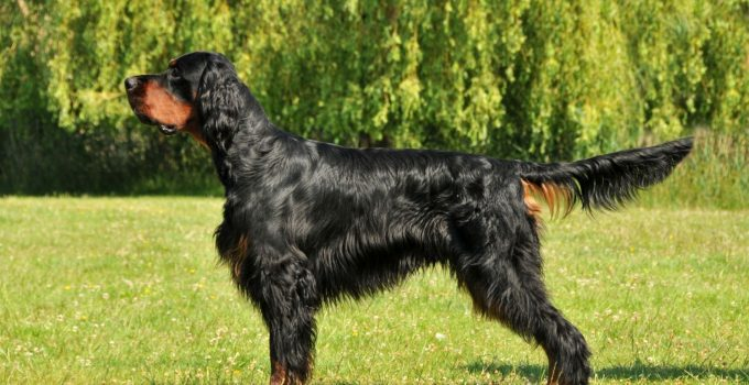 Best Dog Brushes For Gordon Setters