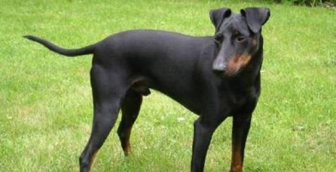 Best Dog Brushes For Manchester Terriers