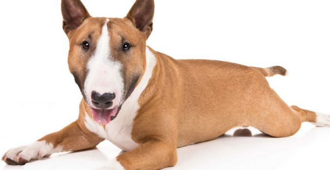 Best Dog Brushes For Miniature Bull Terriers