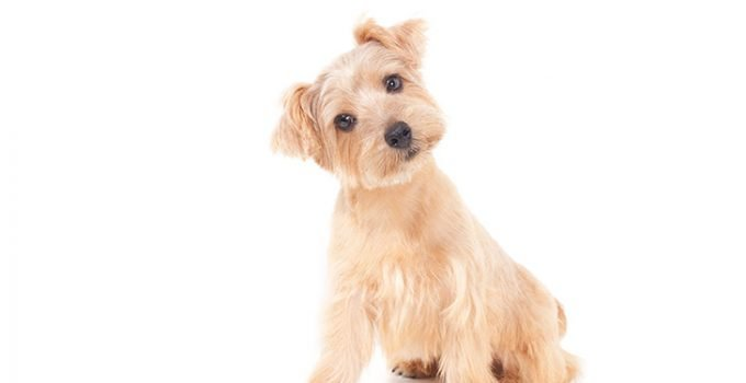 Best Dog Brushes For Norfolk Terriers
