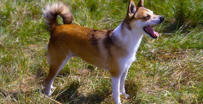 Best Dog Brushes For Norwegian Lundehunds