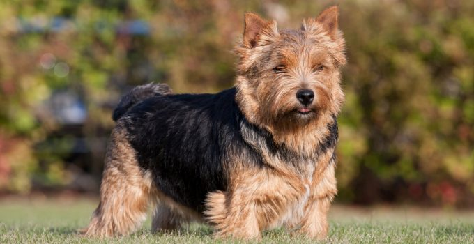 Best Dog Brushes For Norwich Terriers