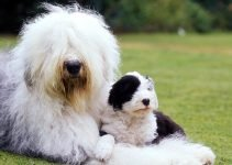 5 Best Dog Brushes for Old English Sheepdogs (Reviews Updated 2021)