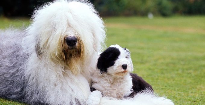 Best Dog Brushes For Old English Sheepdogs