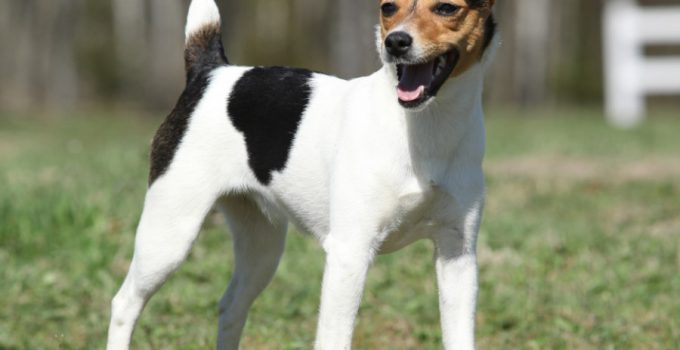 Best Dog Brushes For Parson Russell Terriers