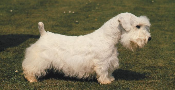 Best Dog Brushes For Sealyham Terriers