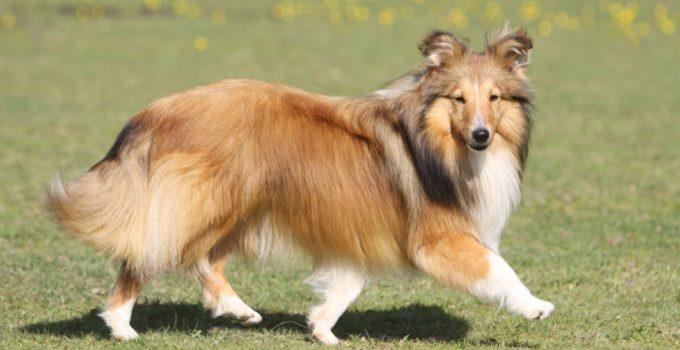 Best Dog Brushes For Shetland Sheepdogs