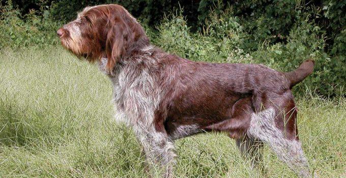Best Dog Brushes For Spinoni Italiani
