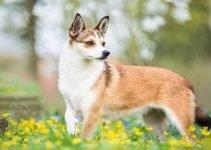 Best Dog Collars For Norwegian Lundehunds