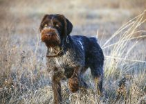 Best Dog Collars For German Wirehaired Pointers