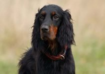 5 Best Dog Collars for Gordon Setters (Reviews Updated 2021)