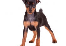 Best Dog Collars For Miniature Pinschers