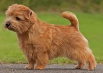 Best Dog Collars For Norfolk Terriers