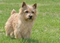 Best Dog Collars For Norwich Terriers