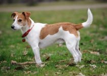 5 Best Dog Collars for Parson Russell Terriers (Reviews Updated 2021)