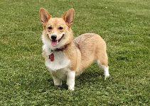 Best Dog Collars For Pembroke Welsh Corgis