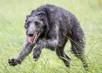 5 Best Dog Collars for Scottish Deerhounds (Reviews Updated 2021)