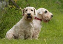 5 Best Dog Collars for Sealyham Terriers (Reviews Updated 2021)