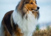5 Best Dog Collars for Shetland Sheepdogs (Reviews Updated 2021)