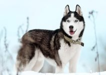 5 Best Dog Collars for Siberian Huskies (Reviews Updated 2021)