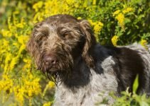 Best Dog Crates For German Wirehaired Pointers