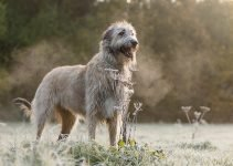 Best Dog Crates For Irish Wolfhounds