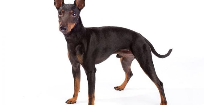 Best Dog Crates for Manchester Terriers