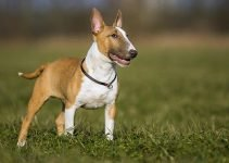 Best Dog Crates For Miniature Bull Terriers