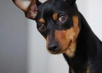 5 Best Dog Crates for Miniature Pinschers (Reviews Updated 2021)