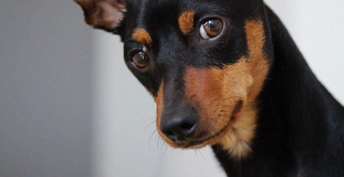Best Dog Crates For Miniature Pinschers