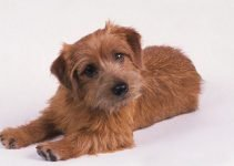 5 Best Dog Crates for Norfolk Terriers (Reviews Updated 2021)