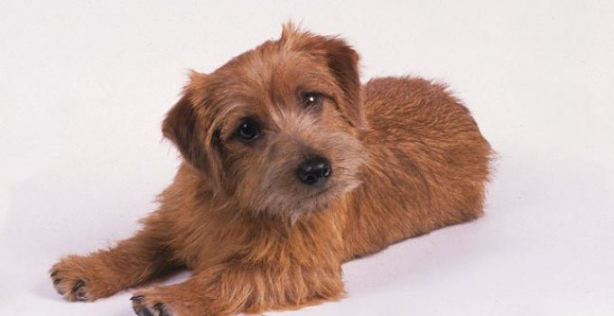 Best Dog Crates For Norfolk Terriers