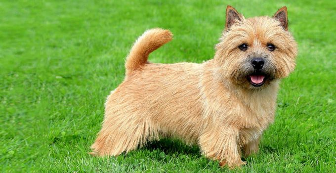 Best Dog Crates For Norwich Terriers