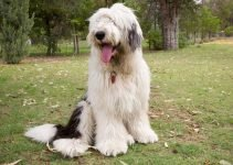 Best Dog Crates For Old English Sheepdogs