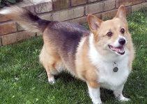 Best Dog Crates For Pembroke Welsh Corgis