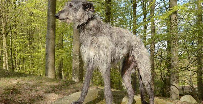 Best Dog Crates For Scottish Deerhounds